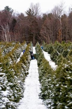 cedar_hill_christmas_tree_farm_292
