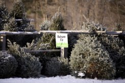 ottawa-christmas-tree-cut-your-own_CH_web 097