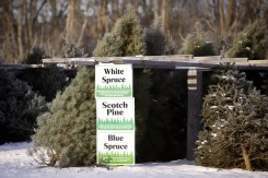 ottawa-christmas-tree-cut-your-own_CH_web 098