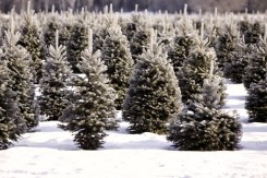 ottawa-christmas-tree-cut-your-own_CH_web 117
