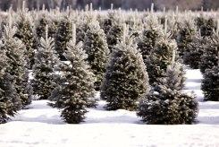 ottawa-christmas-tree-cut-your-own_CH_web 117