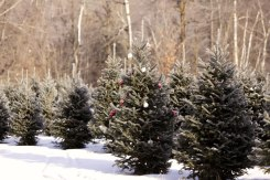 ottawa-christmas-tree-cut-your-own_CH_web 119