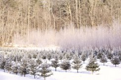 ottawa-christmas-tree-cut-your-own_CH_web 121