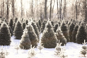 ottawa-christmas-tree-cut-your-own_CH_web 124