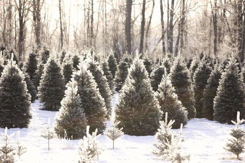 ottawa-christmas-tree-cut-your-own_CH_web 124