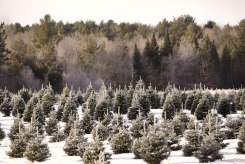 ottawa-christmas-tree-cut-your-own_CH_web 125