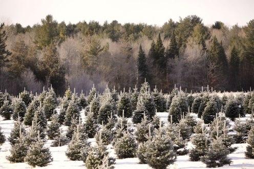 ottawa-christmas-tree-cut-your-own_CH_web 125