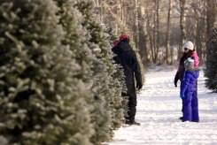 ottawa-christmas-tree-cut-your-own_CH_web 141