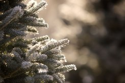 ottawa-christmas-tree-cut-your-own_CH_web 144