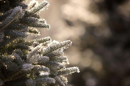 ottawa-christmas-tree-cut-your-own_CH_web 144