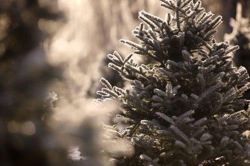 ottawa-christmas-tree-cut-your-own_CH_web 145