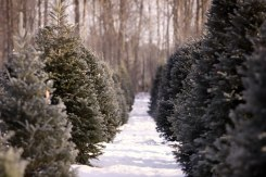 Christmas trees to cut or buy pre-cut