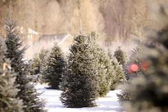 ottawa-christmas-tree-cut-your-own_CH_web 155