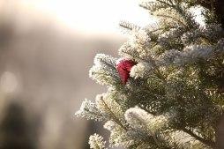 ottawa-christmas-tree-cut-your-own_CH_web 157