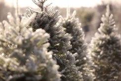 ottawa-christmas-tree-cut-your-own_CH_web 158