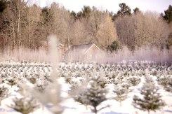 ottawa-christmas-tree-cut-your-own_CH_web 172