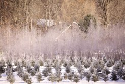 ottawa-christmas-tree-cut-your-own_CH_web 175