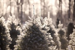 ottawa-christmas-tree-cut-your-own_CH_web 177