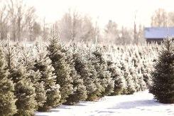 ottawa-christmas-tree-cut-your-own_CH_web 190