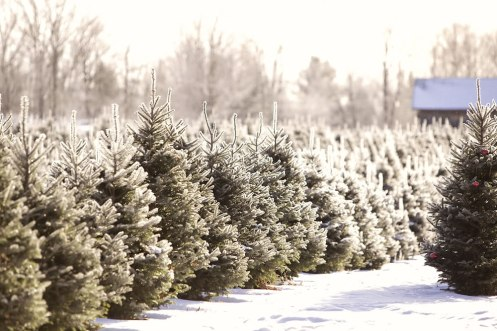 ottawa-christmas-tree-cut-your-own_CH_web 190