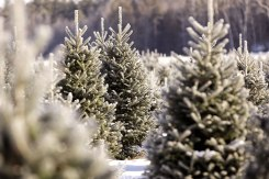 ottawa-christmas-tree-cut-your-own_CH_web 191