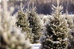ottawa-christmas-tree-cut-your-own_CH_web 191
