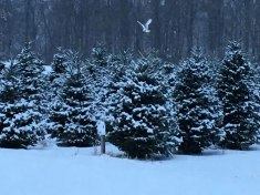 cedar_hill_christmas_tree_farm_ottawa-IMG_6810